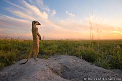 Kalahari Meerkat (Will Burrard-Lucas   Wildlife) Tags: sunset standing meerkat desert digging horizon guard botswana kalahari alert sentry suricate foraging viaflickrqcom