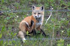 Red Fox Kit DSC_7374 (Ron Kube Photography) Tags: canada nature animal fauna mammal cub pups nikon alberta fox kits cubs kit pup carnivore redfox vulpesvulpes southernalberta d300s ronaldok nikond300s ronkubephotography