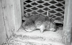 Rat (JannRiik) Tags: winter bw cold film up dead death rat warm freeze 2010 froze