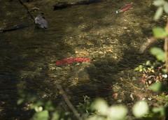 Last Legs (clickarmy) Tags: salmon sockeyesalmon adamsriver spawningsalmon salmonstream adamsriversockeye salutetothesockeye oncorhynchusnerka adamsriversockeyesalmon britishcolumbiasalmon adamsriversalmon spawningsockeye roderickhaigbrownprovincialpark