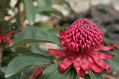 Waratah (sillypucci) Tags: flower festival canon spring 11 canberra waratah tamron 90mm act floriade 2010 400d