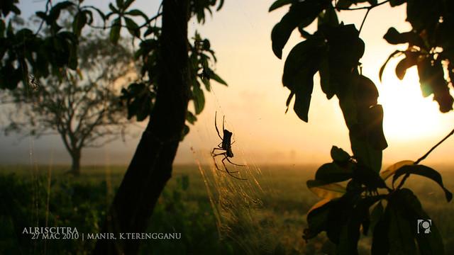 labah-labah-pagi