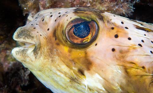 Longspine Pufferfish
