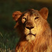 prince of sasan gir