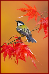 Autumn Glow (hvhe1) Tags: autumn red bird fall colors pose gold leaf maple branch fallcolors wildlife herfst greattit beech vogel herfstkleuren koolmees ocher interestingness2 esdoorn specanimal hvhe1 hennievanheerden avianexcellence