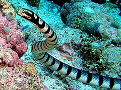 serpiente marina venenosa
