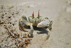 A sand crab on the beach on Mafia Island, Tanzania