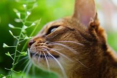 Lizzie soft (DizzieMizzieLizzie) Tags: abyssinian aby beautiful wonderful lizzie dizziemizzielizzie portrait cat chats feline gato gatto katt katze katzen kot meow mirrorless pisica sony a6500 sigma animal pet