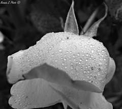 Simple rose (Noemie.C Photo) Tags: simple rose fleur flower noiretblanc blackandwhite monochrome bw nb gouttes drops droplets goutelettes pluie rain jardin garden white blanche plant plante vegetation macro details