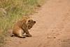 Lions of Maasai Kopjes 424 (Grete Howard) Tags: bestsafarioperator bestsafaricompany africa africansafari africanbush africananimals whichsafaricompany whichsafarioperator tanzania serengeti animals animalsofafrica animalphotos lions lioncubs maasaikopjes kopjes kopje