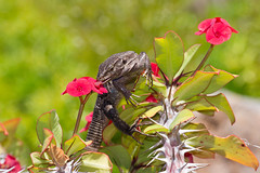 Vou te lamber, minha flor... (Armando Caldas) Tags: 06 0617 2017 armandocaldas espanha gallotiagalloti gallotiagallotigalloti playadelasamericas tenerife canárias ilhascanárias islascanarias répteis reptiles tenerifelizard gallotslizard