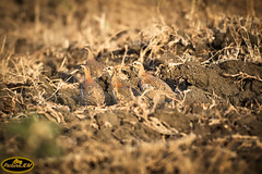 Perdices camufladas (PictureJem) Tags: perdiz naturaleza