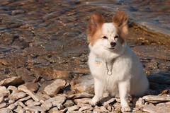 Beach Pip (joshuadavidreid) Tags: hecla pip dog papillon manitoba