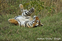 ADS_000006643 (dickysingh) Tags: wild india outdoor wildlife tiger bigcat aditya ranthambore singh ranthambhore dicky naimal adityasingh ranthamborebagh theranthambhorebagh wwwranthambhorecom