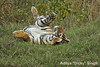 ADS_000006643 (dickysingh) Tags: wild india outdoor wildlife tiger bigcat aditya ranthambore singh ranthambhore dicky naimal adityasingh ranthamborebagh theranthambhorebagh wwwranthambhorecom