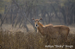 ADS_000007597 (dickysingh) Tags: wild india animal outdoor wildlife aditya antelope ranthambore singh ranthambhore dicky nilgai adityasingh ranthamborebagh theranthambhorebagh wwwranthambhorecom