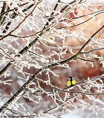 Mellow Yellow (352-366) (nikkorglass) Tags: christmas winter snow vinter nikon december sweden mellowyellow sverige jul nikkor snö 70200 f28 greattit vr parusmajor 352 talgoxe d700 366project 352366