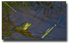 Frog (Joseph M. Campbell) Tags: nature wildlife edwinbforsythenwr newjerseywildlife mtrtrophyshot