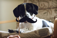 Dog with a Mustache (ginnerobot) Tags: dog pet cute home 50mm chair mustache cosmo jackabee mustacheonastick ibetiamtheonlypersontousethemustacheonasticktag