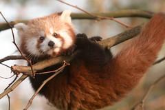 [フリー画像] [動物写真] [哺乳類] [レッサーパンダ]        [フリー素材]