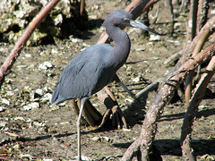 Tired of Being Stared At (zxgirl) Tags: bird heron birds florida roots mangrove sarasota fl root mangroves botanicgarden botanicalgardens botanicalgarden herons botanicgardens s5 ardeidae img5206 littleblueheron selbygardens selby ciconiiformes egrettacaerulea egretta marieselby selbybotanicalgardens marieselbybotanicalgardens fl1209
