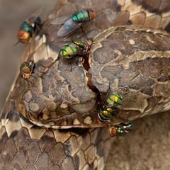 Dona Francisca (Ronai Rocha) Tags: dead death fly cobra snake mosca serpente deadsnake varejeira