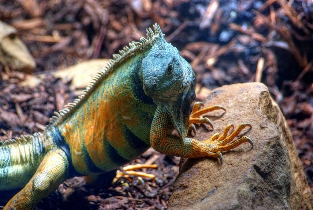 4254558639_2bb2fbed88_b - Double-penis lizard - Varanus bitatawa or monitor lizard - found  - Weird and Extreme