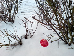Socialism UK 2010 (Picture Post-its) Tags: winter snow redrose phonecamera rosegarden socialism ramsgate eastcliff