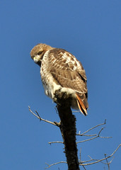 Big bird (Photoroso) Tags: red nature birds hawk wildlife prey raptors predetors