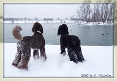 winter feeling (darleen2902) Tags: vienna brown snow black royal poodle standard caniche misura darleen