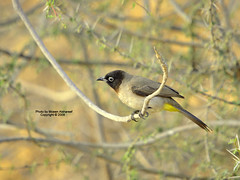 Bulbul (CLICK GROUP   Moeen) Tags: nature birds nikon saudiarabia  jazan gizan        thewonderfulworldofbirds