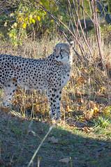DSC_2288 (thi.g) Tags: schönbrunn nature cat zoo nikon cheetah predator thig d90 thilogierschner