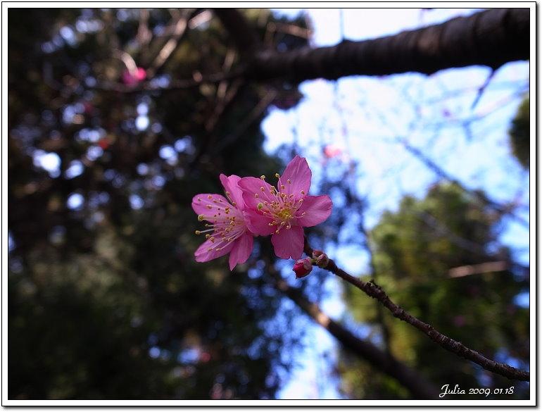 山櫻花開 (3)