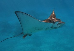 ray (bluewavechris) Tags: ocean blue sea eye water animal swim hawaii marine ray eagle tail wing maui spotted creature eagleray