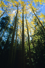Velvia New Mexico Aspens 2007