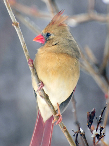 female cardinal snow2