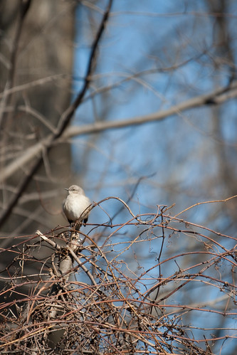 Northern Mockingbird on a thicket