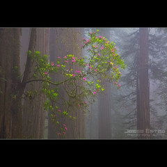 California Redwoods (Jesse Estes) Tags: california fog redwoods blooms rhodies jesseestes jesseestesphotography