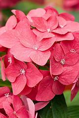 33586 (Clive Nichols) Tags: paris hydrangea shrub hortensia mophead macrophylla hortensis clivenichols flickrhydrangeas