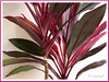 Ti Plant (Cordyline terminalis or C. fruticosa (red/pink/maroon), in our garden