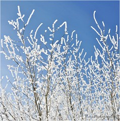 Winter lace (ceca67) Tags: blue winter sky white snow tree nature switzerland nikon lace legacy sense onblue d90 ceca coth rubyphotographer miasbest flickrvault
