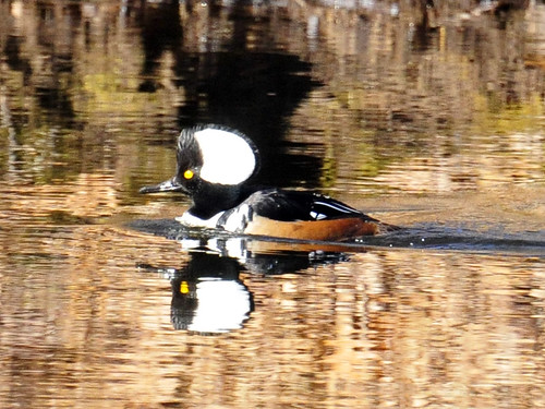 Hooded Merganser Sudbury River two 1 2010