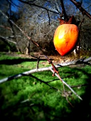 Daily iPhone photos: winter persimmon