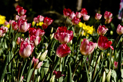 Tulip (ddsnet) Tags: plant flower sony taiwan tulip   taoyuan 900         900  851 85