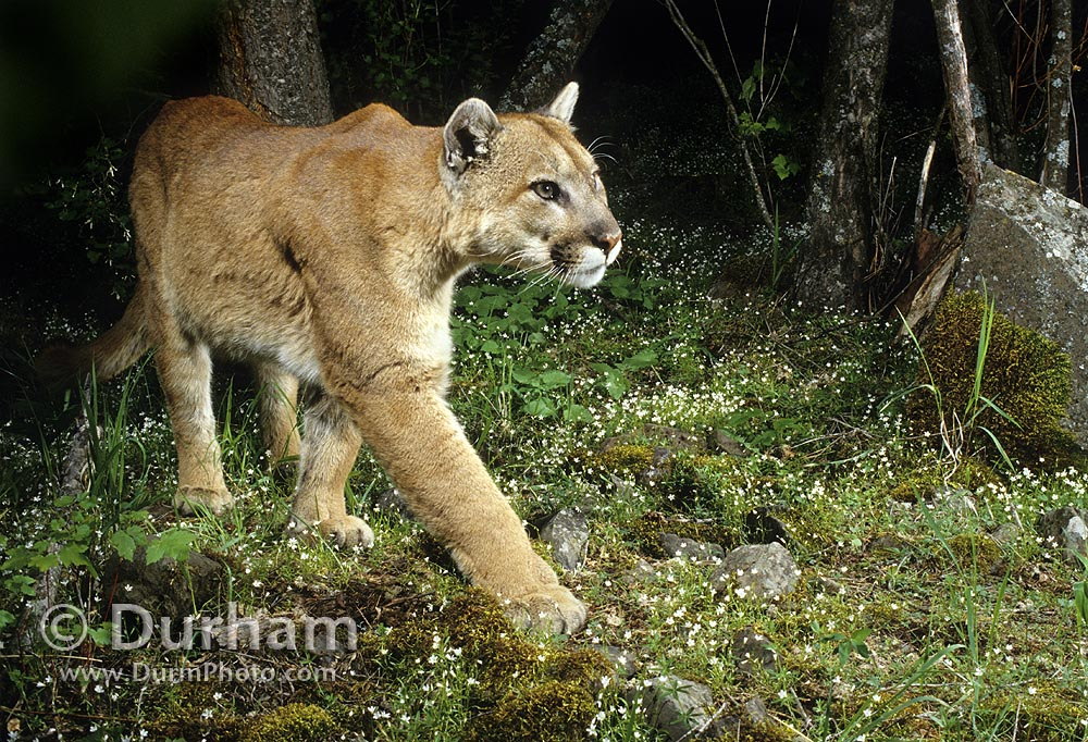Wild Mountain Lion