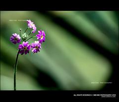 Blossom (Smevin Paul - Thrisookaran !! www.smevin.com) Tags: