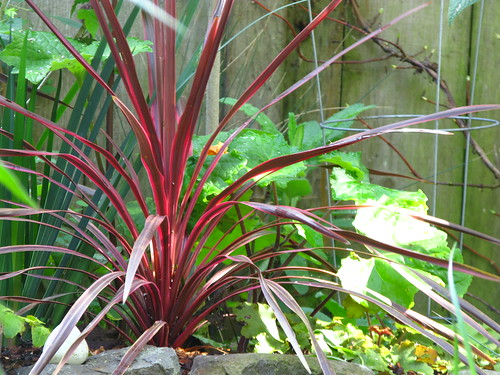 Sun is moving back on the cordyline. Not a moment too soon.