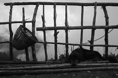 Un perro en Tharepati (Cyberian8) Tags: nepal blackandwhite bw blancoynegro animal trekking trek asia noiretblanc himalaya animaux diere senderismo himalayas senderisme  tier  djur   hayvan  desanimaux  hewan helambu crnobijeli haiwan   ivotinja siyahvebeyaz  svartochvitt  hitamdanputih schwarzundweis swartenwit  helambutrek  trekkingdelhelambu