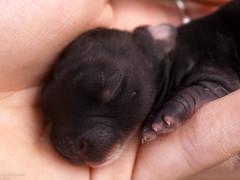 baby bunnies, day 2 (danielle kiemel) Tags: day2 baby pets white black cute bunny animals hands beaver newborn kits rabbits daniellekiemel