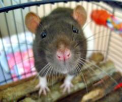 [フリー画像] [動物写真] [哺乳類] [ネズミ上科] [ラット] [小動物]      [フリー素材]